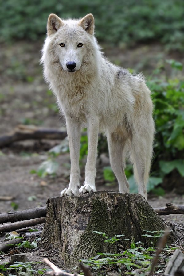 "plagved:  (via 500px / Photo ""The Arctic Wolf"" by Josef Gelernter)"