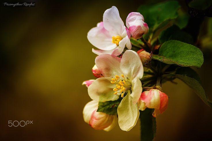 Apple tree flowers - null