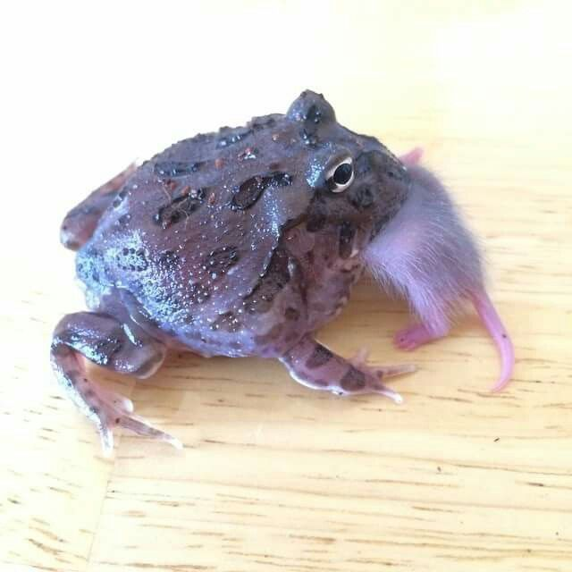Purple pac man frog produced by mike matson