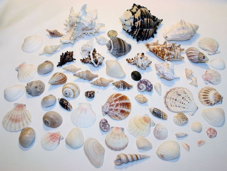 Sea shell lot 62 some large crafts or display craft kits for Big seashell crafts