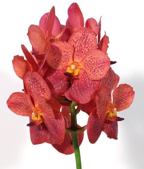 orchidee vanda hangend