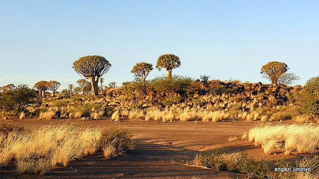 Quiver tree Forest Namibia