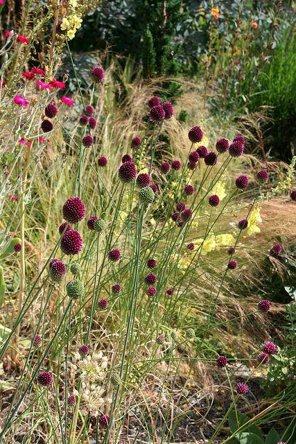 Drumstick allium flowers