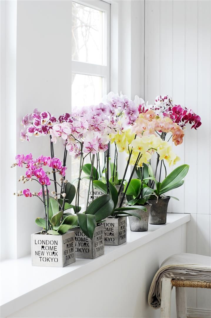 Bring color in your white interior with these colorful Phalaenopsis Orchid | Home decor inspiration by Bloomifique