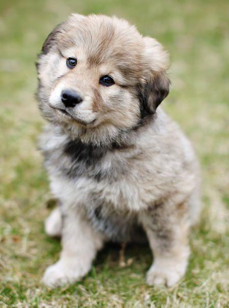 Australian Shepherd / Keeshond mix puppy | Pets | Pinterest
