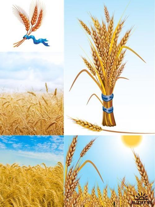 Wheat photos and  illustrations \ Пшеница