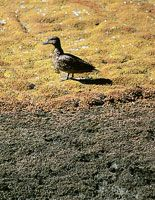 La avifauna de ambientes acuáticos está bien representada por patos de diferentes especies.