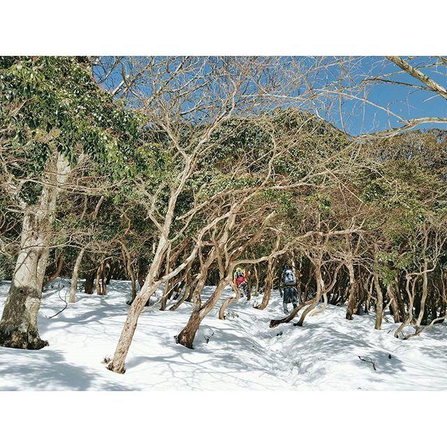 【yumi_hutte】さんのInstagramをピンしています。 《* そして、さらに行けども行けども馬酔木のトンネル。 ・ ・ ・ #ユミユルハイ #アセビ #馬酔木 #馬酔木のトンネル  #入道ヶ岳 #鈴鹿 #登山 #山歩き #ハイキング #雪山登山 #雪山 #アウトドア #hike #冬 #三重県 #森 #山 #雪景色》