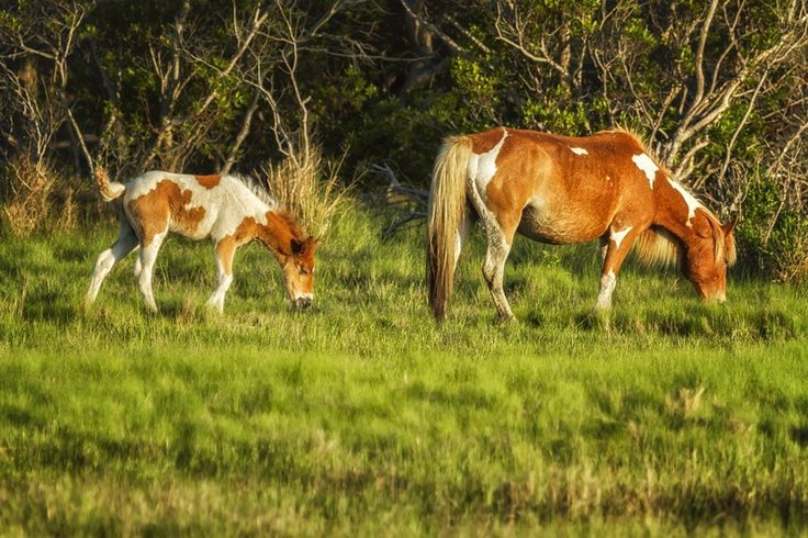 """"""" Following Mom - Chincoteague Pinto Foal No. 3 """". It was a while before this mare and her foal came out in the open. The wait was worth it - they were beautiful! The Chincoteague Ponies also know as the Assateague Horses are feral horses that live on Assateague Island in Maryland and Virgina. The horses are strictly wild in Maryland with the only intervention being contraceptives, while in Virginia, the horses are part of the Chincoteague National Wildlife Refuge but owned technically by..."""