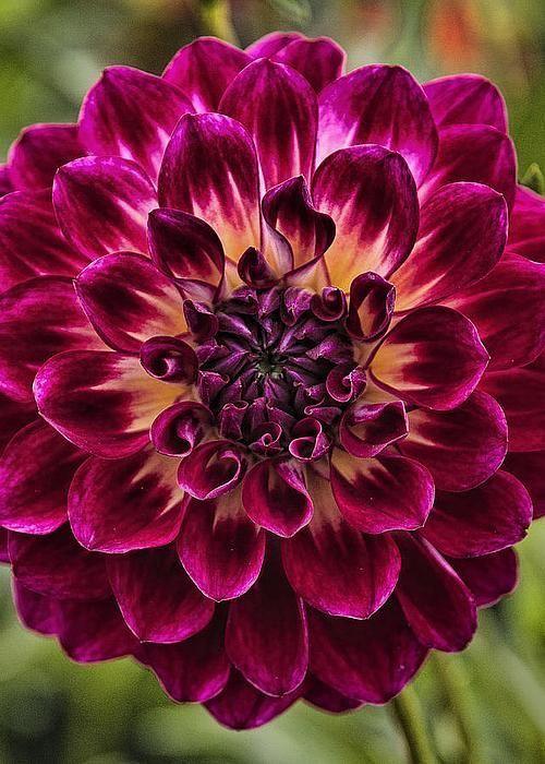 les 68 meilleures images du tableau dahlias sur pinterest belles fleurs fleurs de dahlia et. Black Bedroom Furniture Sets. Home Design Ideas
