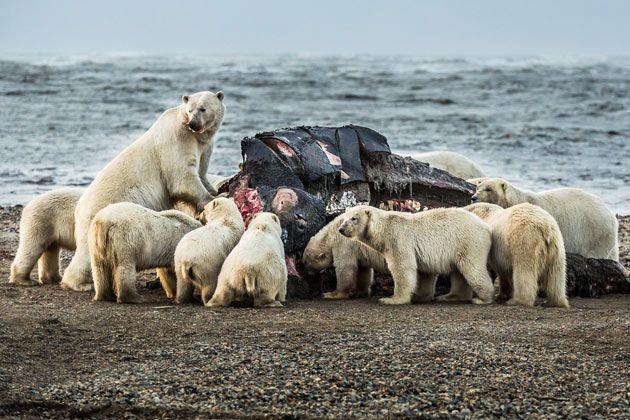 Bilder: 80 isbjørner invaderer landsby