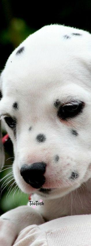 ❇Téa Tosh❇ Dalmatian puppy