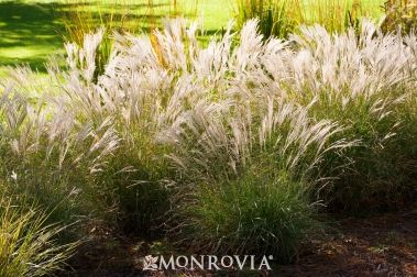 Miscanthus little kitten 3 39 tall 18 wide deer for Tall oriental grass