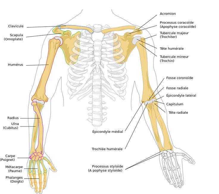 45 best Anatomie (Art) images on Pinterest | Menschliche anatomie ...