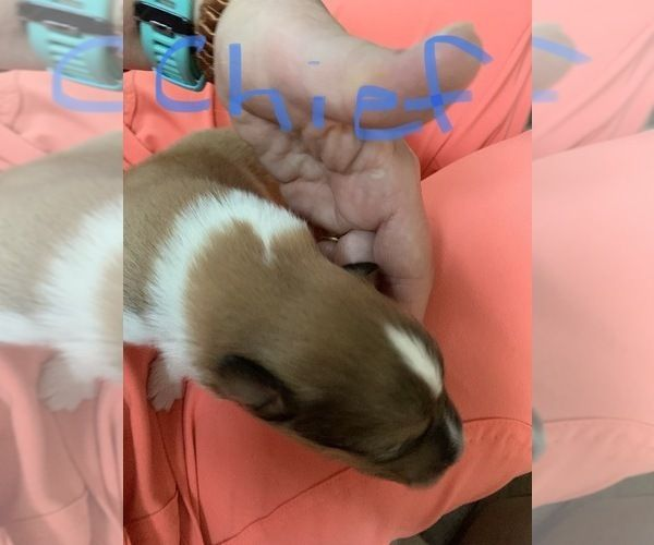Litter Of 8 Collie Puppies For Sale In Chattanooga Tn Adn 152456
