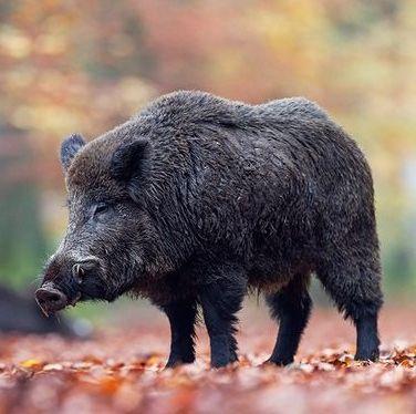 Fresh Wildschwein die Maennchen legen in der Paarungszeit auf der Suche nach Bachen weite