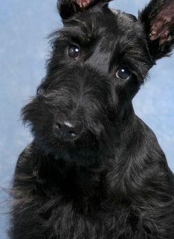 Black Scottish Terrier | Scottish Terrier Dog Pictures | Images of Scottish Terrier Puppy