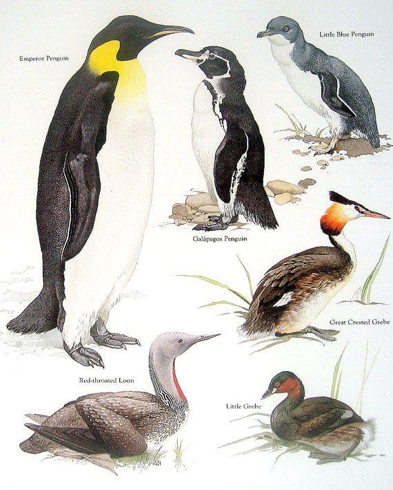 Aves pingüino emperador el pingüino de por mysunshinevintage