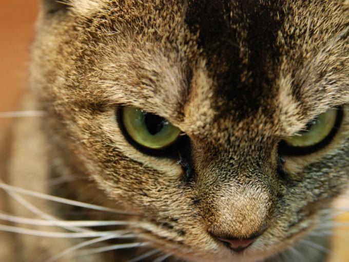 Según su color estos investigadores te dicen qué tan malo es tu gato. Foto: Especial