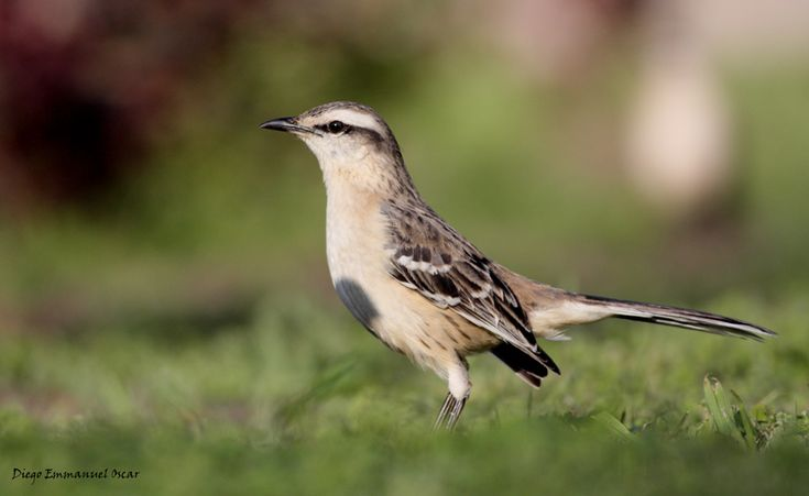 """Chalk-browed Mockingbird (a/k/a Calandria Grande - Mimus saturninus).     [""""Calandria Grande (Mimus saturninus) - Gesell.""""]      Google search: """"The Chalk-browed Mockingbird (Scientific name:Mimus saturninus) is a bird found in most of Brazil & in parts of Bolivia, Uruguay, Paraguay, Argentina, & Suriname. It's a bird of open wooded areas, including urban & suburban gardens.Wikipedia."""""""