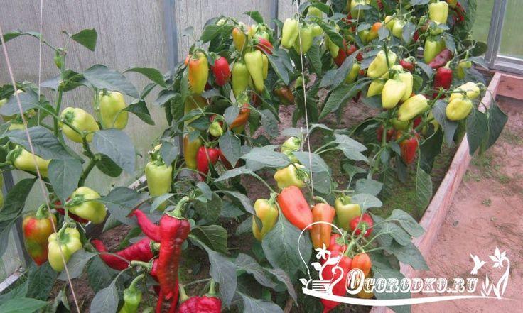 Как правильно формировать перец, чтобы ускорить созревание и рост плодов?!