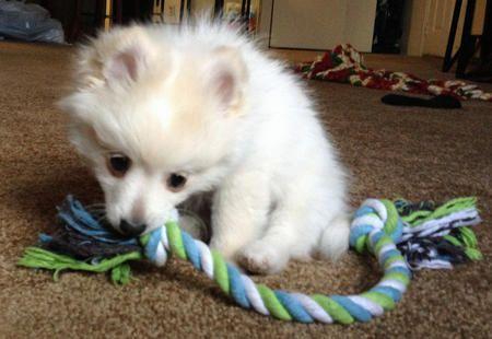 Rooty the Pomeranian Mix -- Puppy Breed: Maltese / Pomeranian