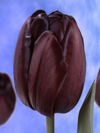 Tulpan 'Queen of Night', Storpack:   (Tulipa gesneriana)   Senblommande, nästan svart tulpan som gör sig bra i rabatten men även är fin och hållbar som snittblomma. Vill ha en näringsrik jord som är väldränerad. Härdig i större delen av landet. Blir ca. 50 cm hög. Lökstorlek 11/12. 20 lökar.