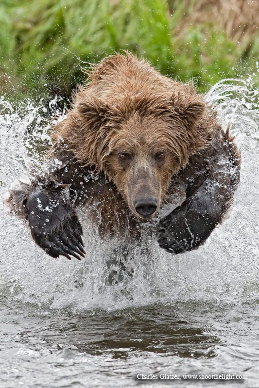 AK brown bear charging into pool of salmon. Fortunately, this bear was inept at fishing, giving me multiple opportunities to create this image. After a few misses I got the bears MO and proceeded to position myself accordingly for this image, low and vertical. This image was the cover of Popular Photography March, 2010