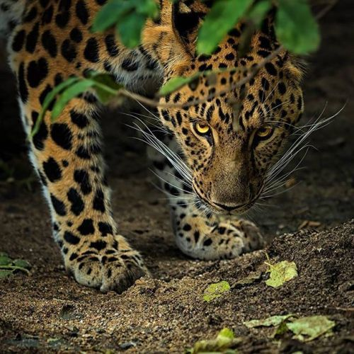 Když to umíte a máte dobrou foto výbavu tak i fotky ze zoo mohou vypadat jako z divoké přírody. Autor: Patrik Staněk @patrik.photographer ; fotoaparát: Olympus OM-D E-M1 Mark II; objektiv: M.Zuiko 40-150 mm 1:2.8 #olympus #olympusomd #em1markii #omdrevolution #mzuiko #mzuiko40150pro #patrikstanek #nature #naturephotography #animal #zoo #zoopraha #mujolympus via Olympus on Instagram - #photographer #photography #photo #instapic #instagram #photofreak #photolover #nikon #canon #leica…