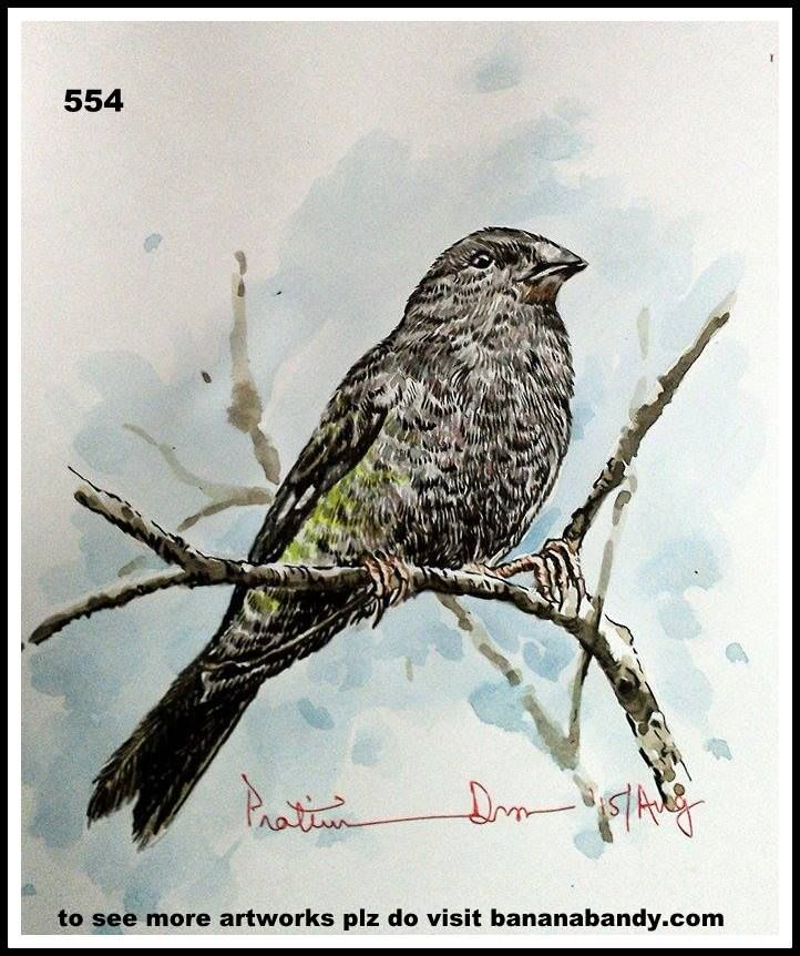PAKHI DEKHUN PAKHI CHINUN # 529/554(Observe the Bird and recognize)...WHITE WINGED GROSBEAK... WATERCOLOUR...A4...2015... [FROM PHOTOGRAPH OF MR. DIBYENDU ASH] ... The white-winged grosbeak (Mycerobas carnipes) is a species of finch in the Fringillidae family. It is found in Afghanistan, Bhutan, China, India, Iran, Myanmar, Nepal, Pakistan, Russia, Tajikistan, Turkmenistan, and Uzbekistan. Its natural habitat is boreal forests. 22–24 cm; 50–66 g. Large, heavy-bodied grosbeak with short wing…