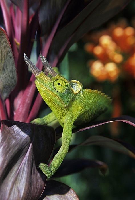 Jackson's Chameleon on Red Tea Leaf, Maui
