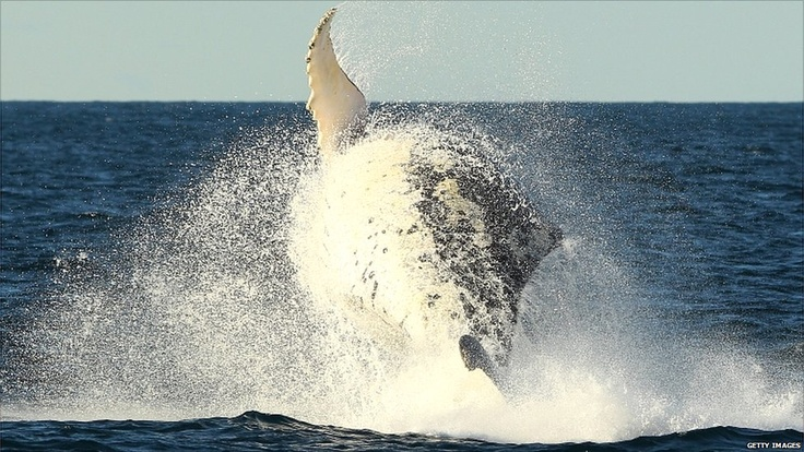 It is whale-watching season in Sydney, Australia, as the mammals begin their migration from the southern regions to warmer waters in the north. The migration continues throughout July and the whales return between September and November.