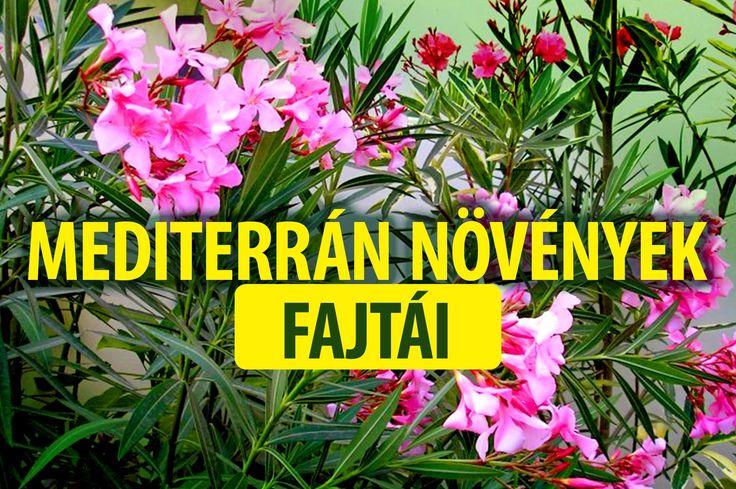 Mediterrán növények fajtái - kertészeti tanácsok, Budapest