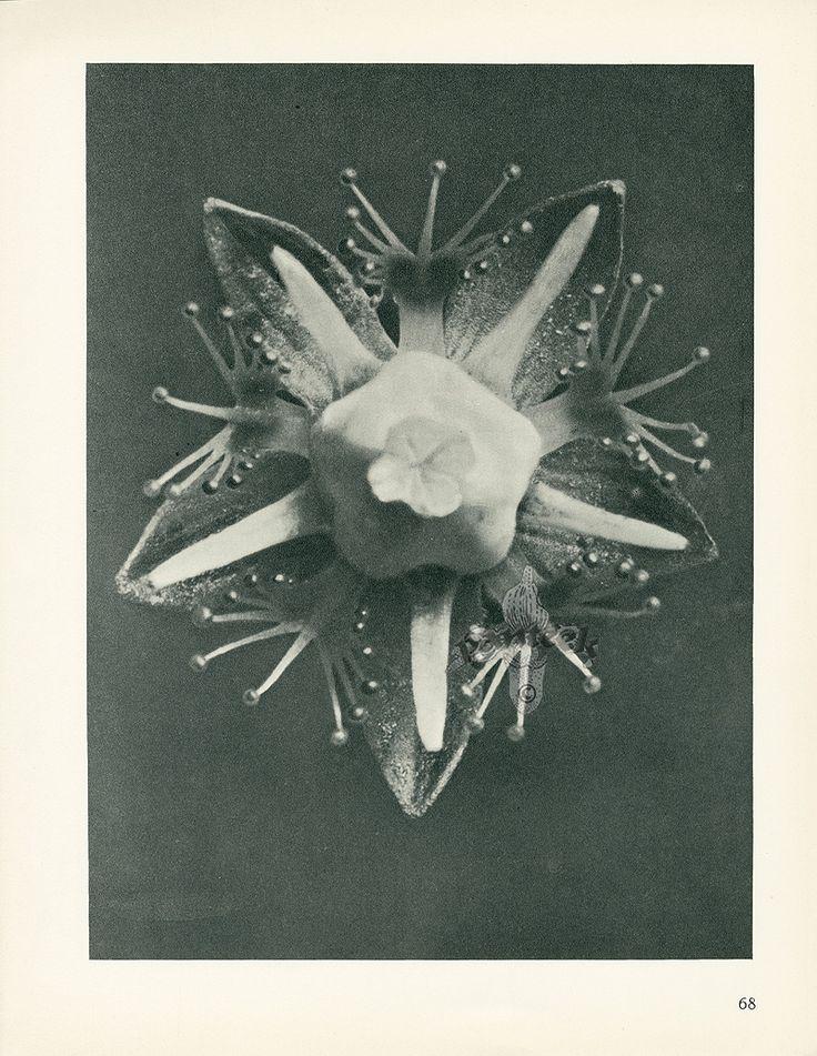 Karl Blossfeldt | Photogravures from Urformen der Kunst 1929