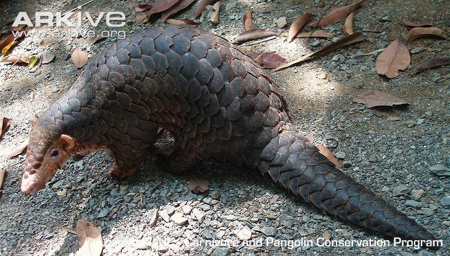 The Chinese pangolin spends the winter in deep burrows, situated next to a termite nest to provide a food source. Description from arkive.org. I searched for this on bing.com/images