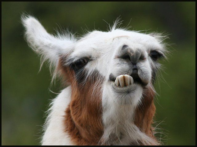 funny animals: Funny Llama pictures