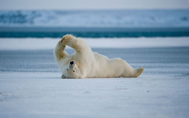A polar bear rolls around and stretches in the snow at the Arctic National Wildlife Refuge in North Slope, Alaska
