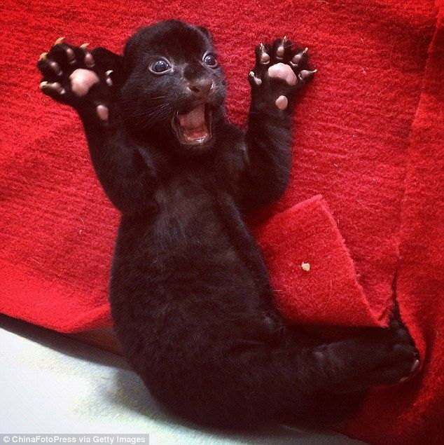 Fear me! Rare black tiger cub does its best to terrify… but it's just too cute for its own good - rare black cub born in China, Aug 2014