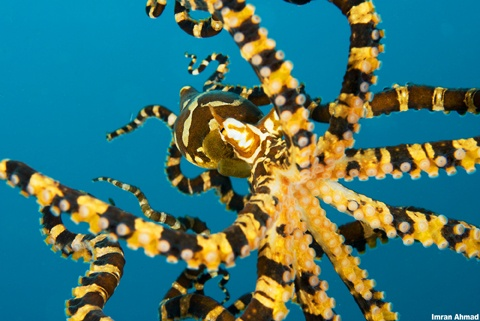 Octopus in Lembeh Strait, Indonesia