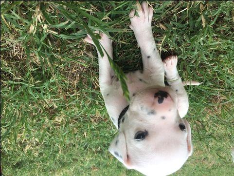 Dalmatian puppy for sale in GARBER, OK. ADN-34720 on PuppyFinder.com Gender: Male. Age: 3 Weeks Old