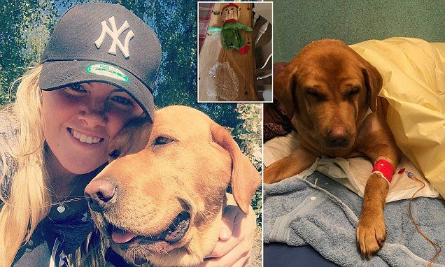 Beloved labrador died as a £2 B&M pet toy got lodged in its stomach