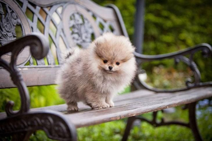 """Won't you join me?""...  Click on this image to find more cute #Pomeranian #puppy pics"
