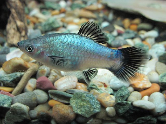 1111 best images about livebearers no guppy on pinterest for Fish tank fish types