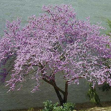 Looking for the perfect tree for your small suburban lot? Here are 15 varieties, like this Eastern Redbud (Cercis Canadensis) that remain under 25 to 30 feet at maturity. | Photo: Missouri Botanical Garden | thisoldhouse.com