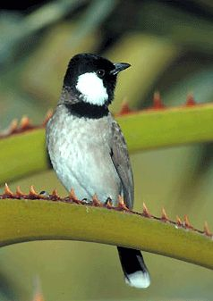 This is the national bird of Bahrain - the White-Cheeked Bulbul