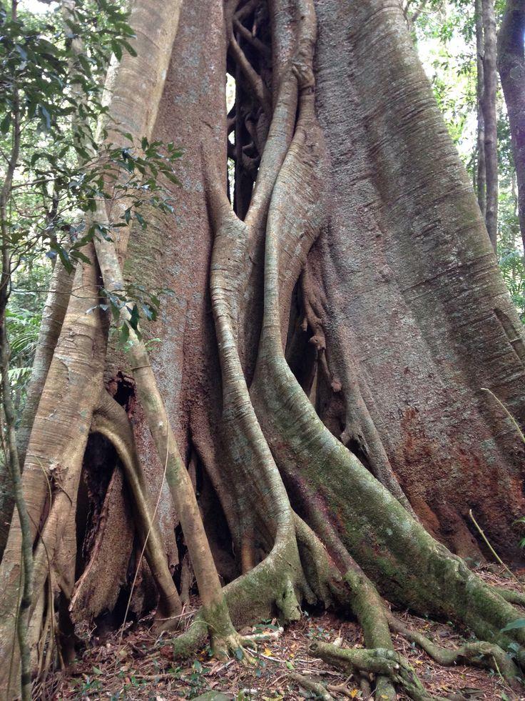 Beautiful tree, Montville region, Queensland Australua