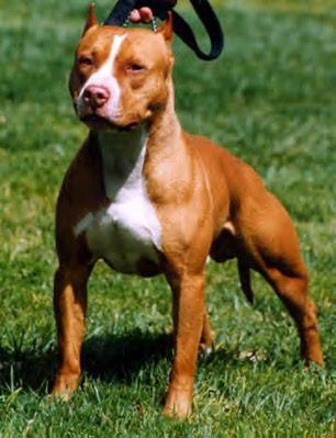 Pit bull - Dogs Photo (32239986)