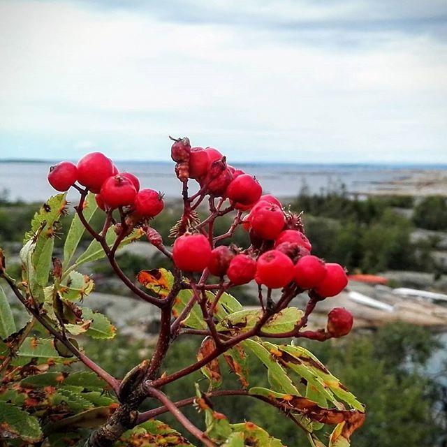 Høsten kommer med rognebær