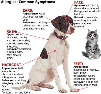 Symptoms of allergies in dogs and cats