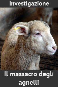 Investigazione  Il massacro degli agnelli  La fine degli agnelli in mattatoio, da reportage del 2007 e 2008 in macelli italiani e spagnoli.